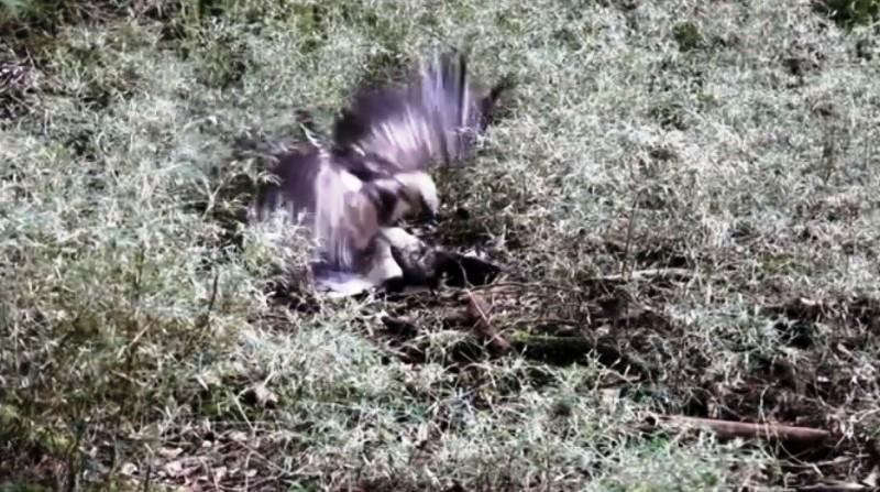 影/塔塔加熊鷹打架被人撞見 纏鬥地面壓制10分鐘
