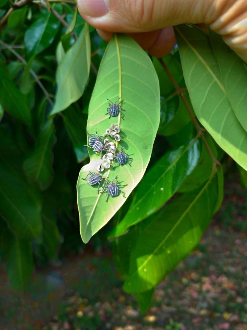 嘉市34座公園發現荔枝椿象蹤跡 衣服有蟲卵小心進家門