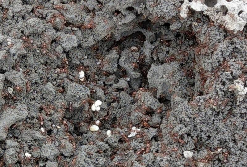 影/宜蘭驚傳紅火蟻入侵! 科學園區赫見毒蟻從土堆噴出