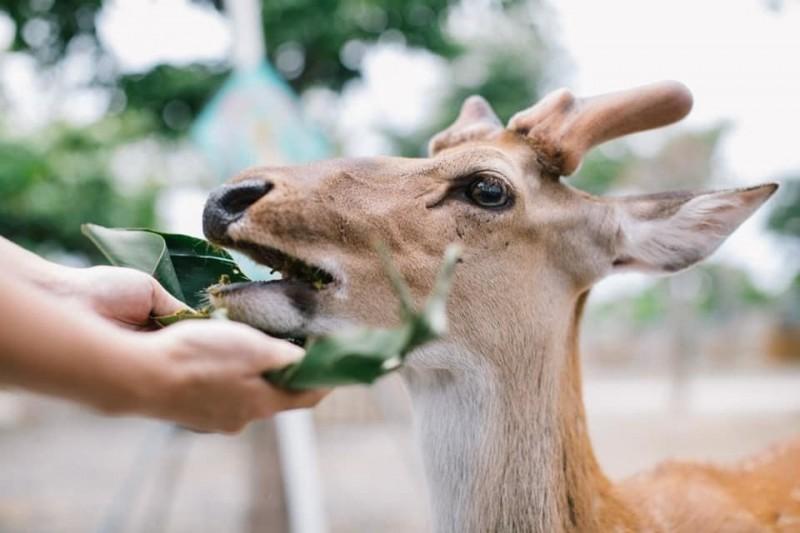 這裡的梅花鹿超幸福 端節可享美味「鹿棕」
