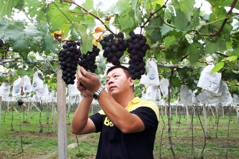 鋒面將至 巨峰葡萄採收期 果農憂強降雨