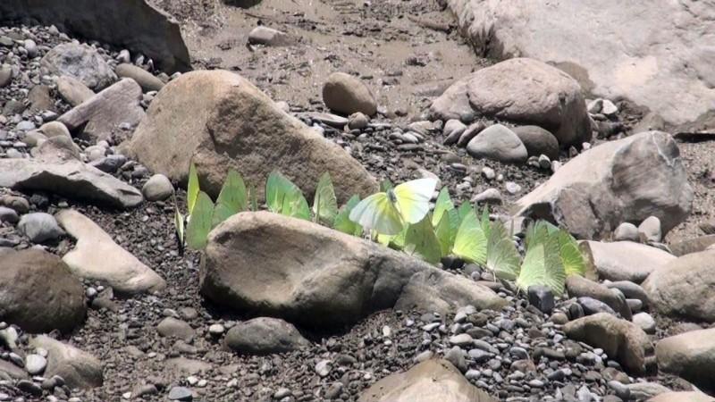 黃蝶再紛飛 環團:應管好棲地
