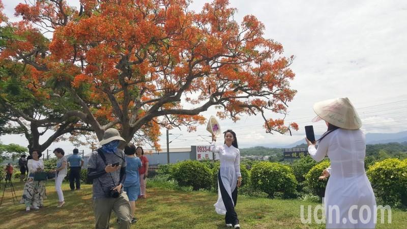 影/搶拍火紅鳳凰木 越南新住民飄逸「奧黛」添嬌點
