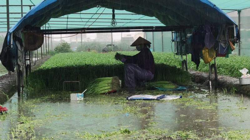 豪雨不斷雲林蔬菜倒伏嚴重 農民泡水田搶收