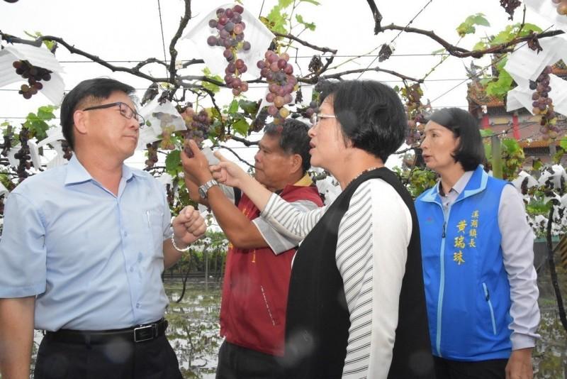 六月葡萄成熟時 才慶豐收卻連日豪雨泡湯了