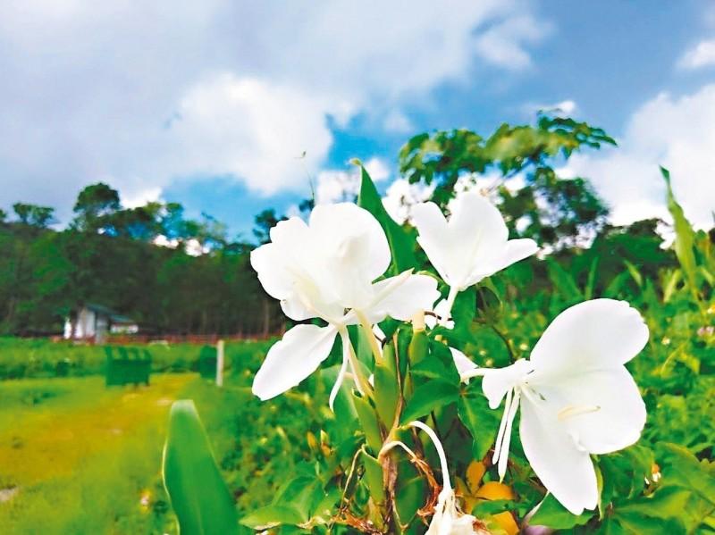 野薑花季將至 牡丹鄉東源「白」花齊放