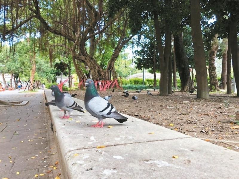 公園餵野鴿 柯文哲下令「拍照錄影罰錢」