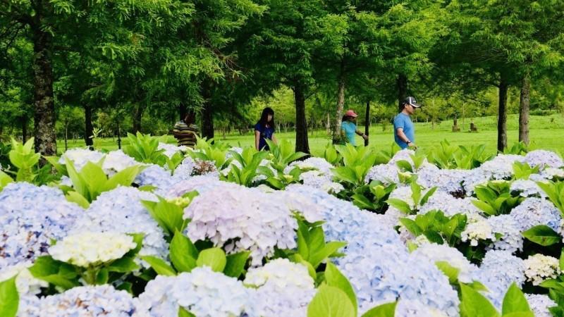 繡球花大爆發!武陵農場暑假快客滿