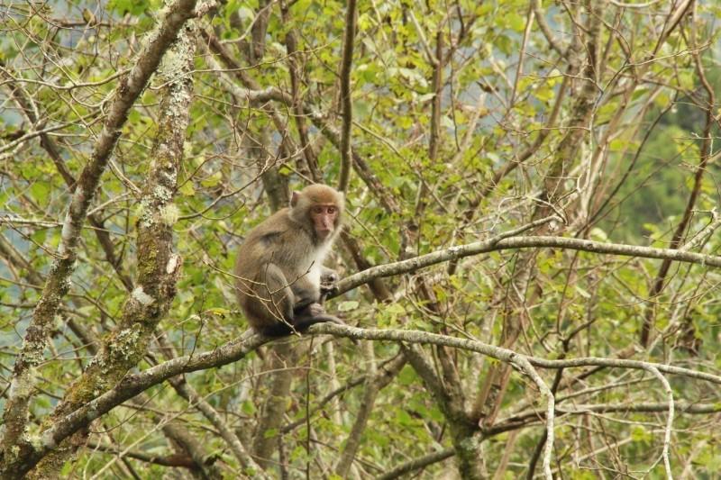 台東獼猴撒野農民惱 吊死猴不人道卻最有用