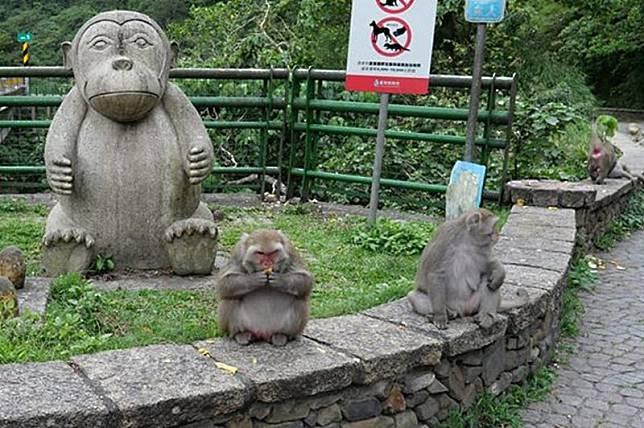 台東登仙橋出現胖獼猴 民眾心疼說不要再餵了