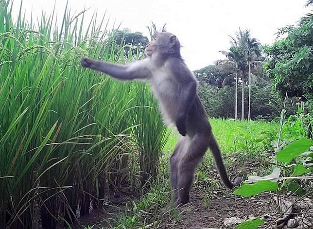 台灣獼猴採稻畫面惹人愛 農民心痛籲台東縣府重視