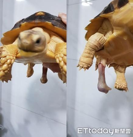 象龜泡澡掉出「第五條腿」 飼主急問「怎縮回去」怕細菌感染