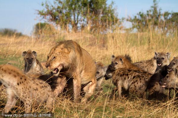 不滿幼犬遭殺!鬣狗撂20同伴「撲咬落單母獅」 一關鍵結局逆轉
